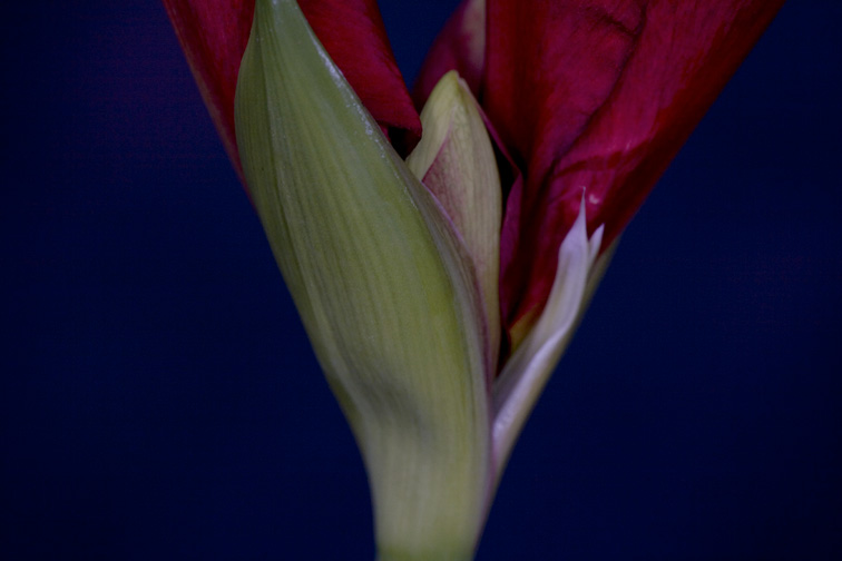 Amaryllis Opening (close up)